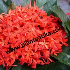 Chinese Ixora plant