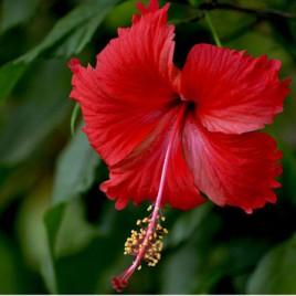 Gudhal Plant