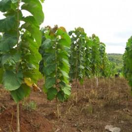 Hybrid Teak plants