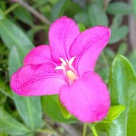 Limonia Flowers