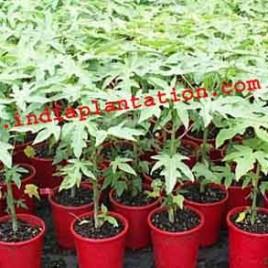 Papaya Plant-Red Lady