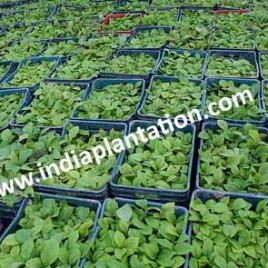 Tissue Cultured Teak Plant